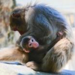 大分・高崎山動物園の赤ちゃんザル 名前は「ソダネ」ちゃん