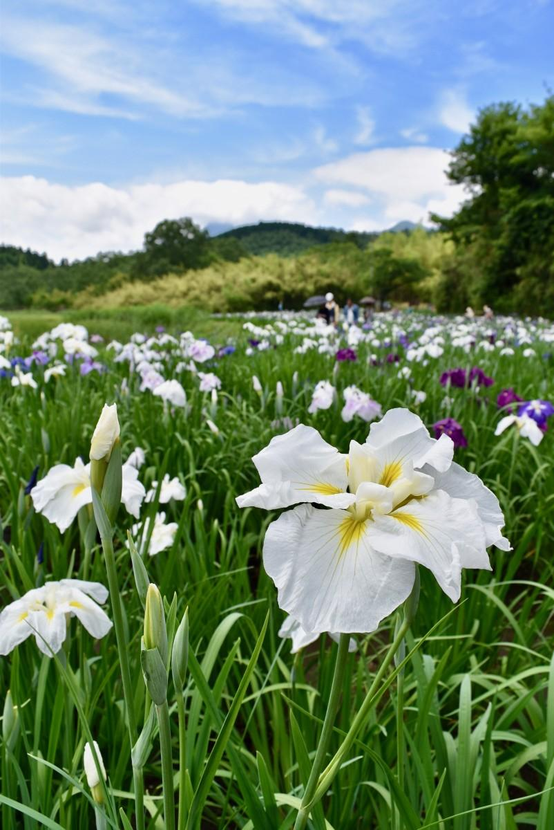 白系の花が咲き誇る神楽女湖のショウブ園(6月12日13時30分撮影)