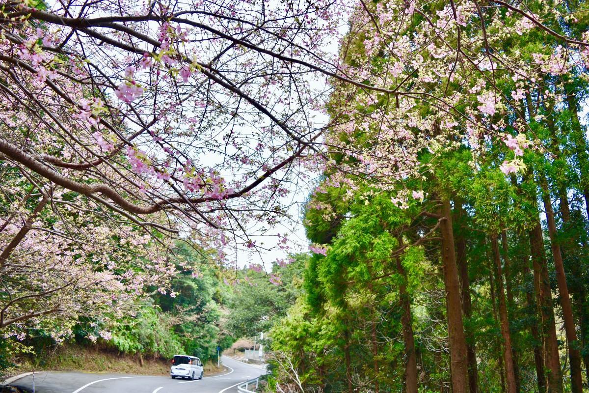 蔵谷地区を彩る河津桜(2月3日12時ごろ撮影)