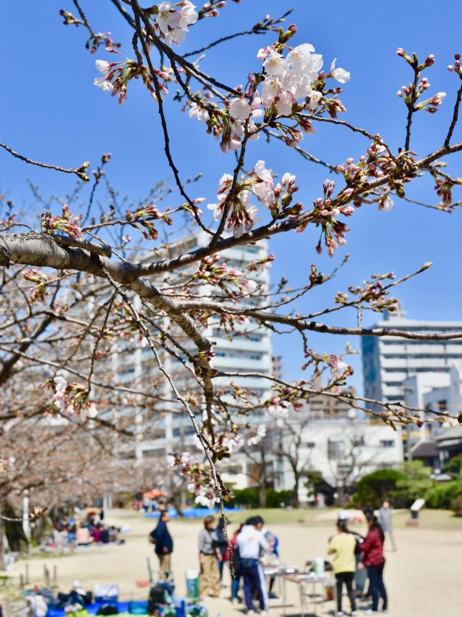 開花の進む城址公園の桜(3月24日13時ごろ撮影)