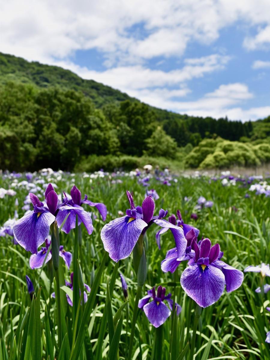 見頃を迎えている神楽女湖のハナショウブ(6月12日11時15分ごろ撮影)