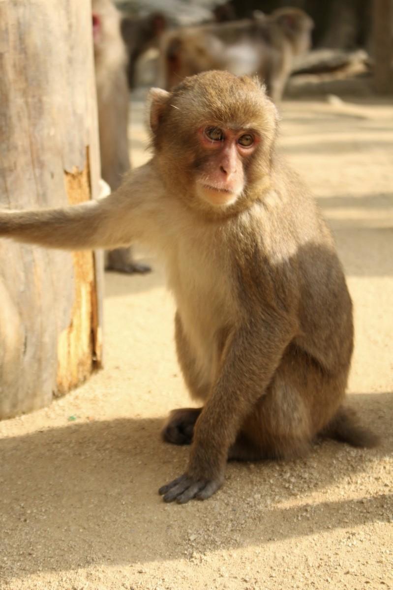 人気ザル部門を制したシャーロット(高崎山自然動物園提供)