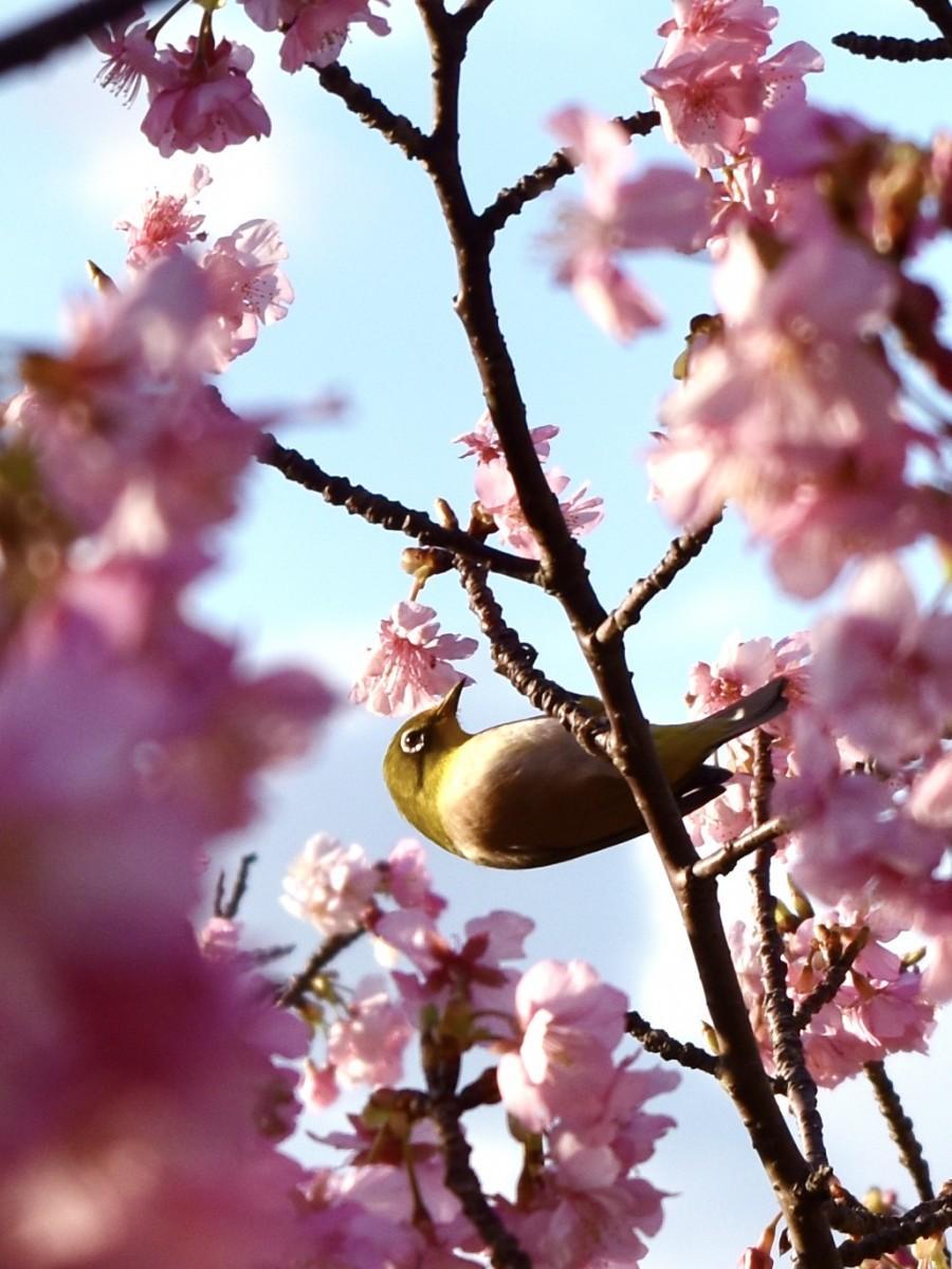 大分県の県鳥メジロも河津桜の花見に