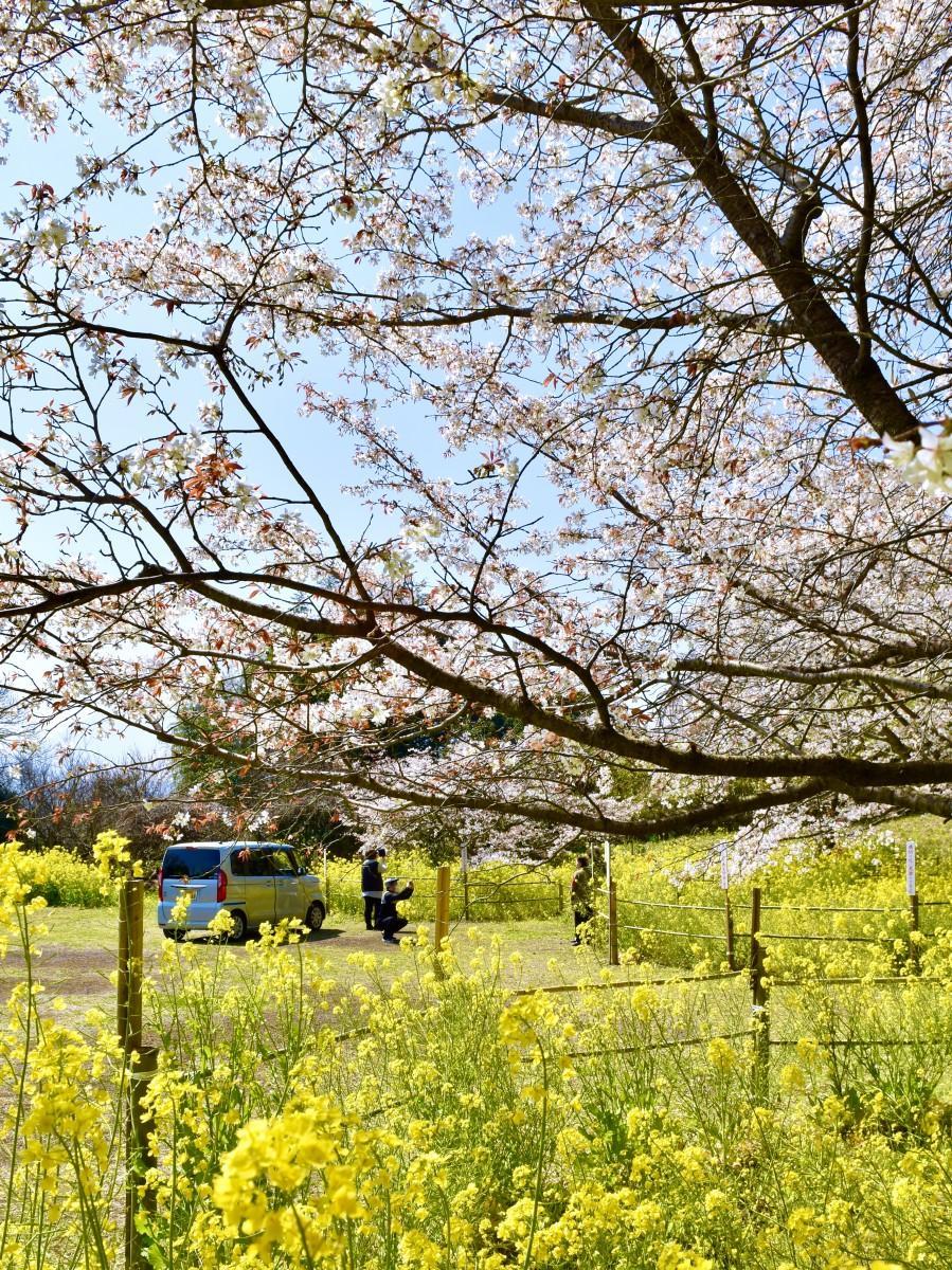 見頃を迎えている日出町の「魚見桜」