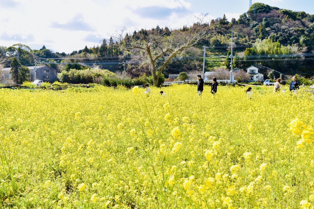 見頃を迎えている臼杵市佐志生の菜の花畑