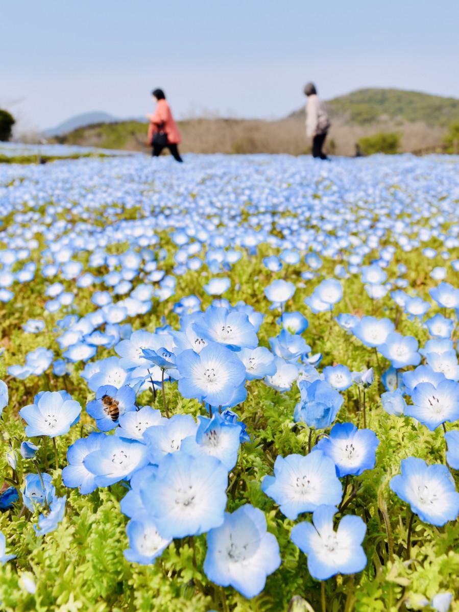 開花が進む大分農業文化公園のネモフィラ(3月18日13時30分ごろ撮影)