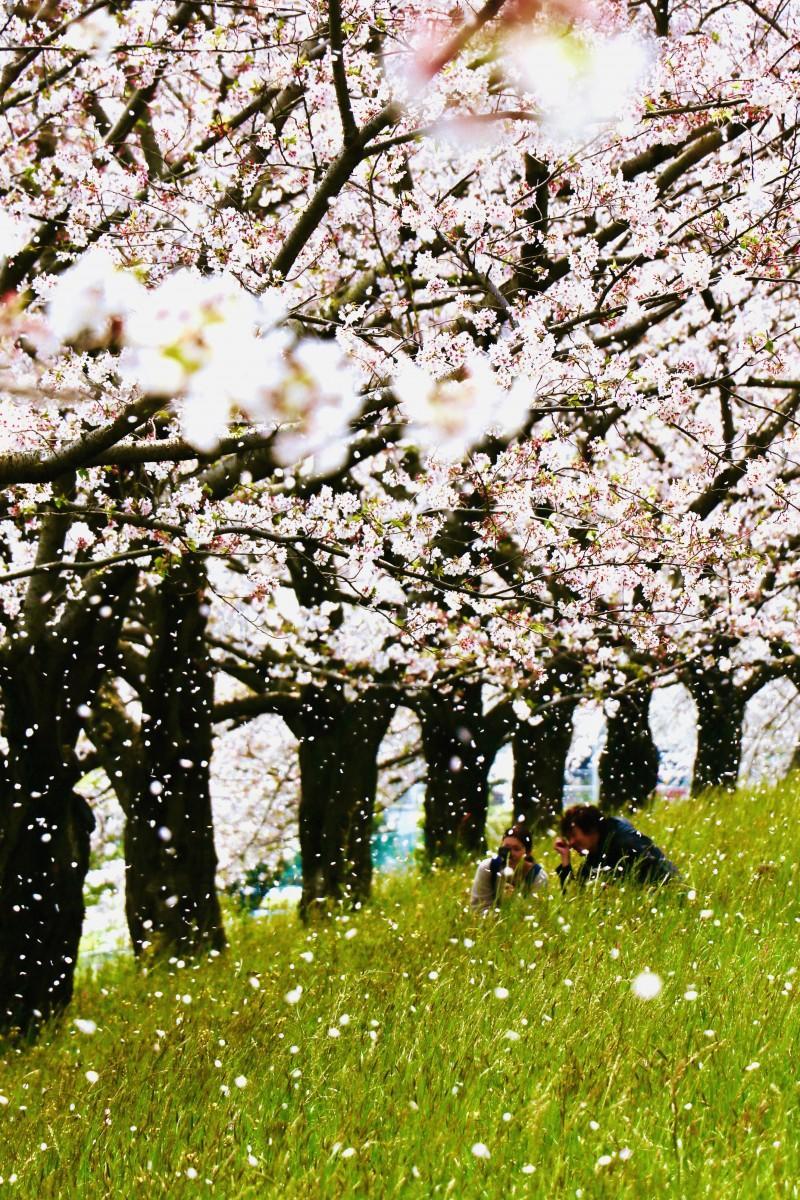 桜舞い散る大野川右岸緑地(4月8日12時30分ごろ撮影)