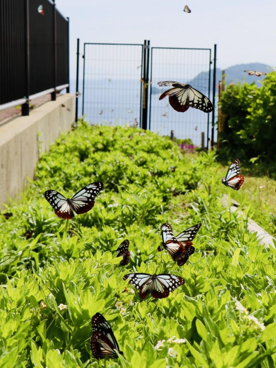 飛来のピークを迎えている関崎海星館のアサギマダラ(5月22日9時20分ごろ撮影)