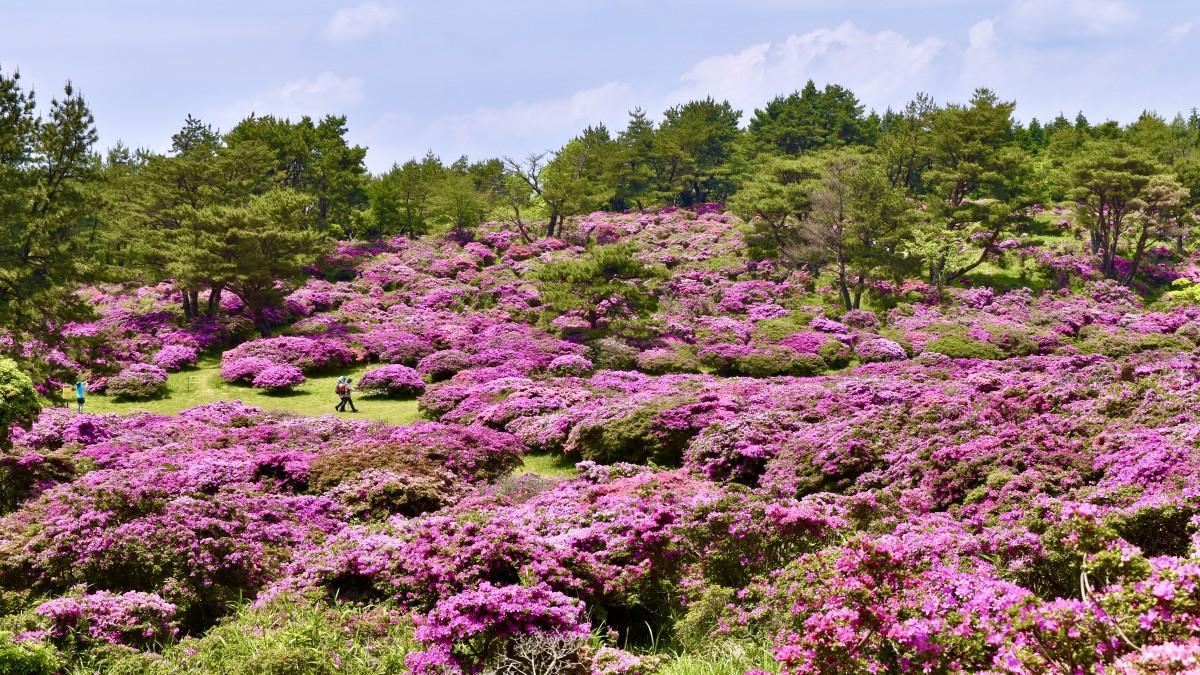 ピンク色に染まる万年山の「御花畑」(5月27日13時15分ごろ撮影)