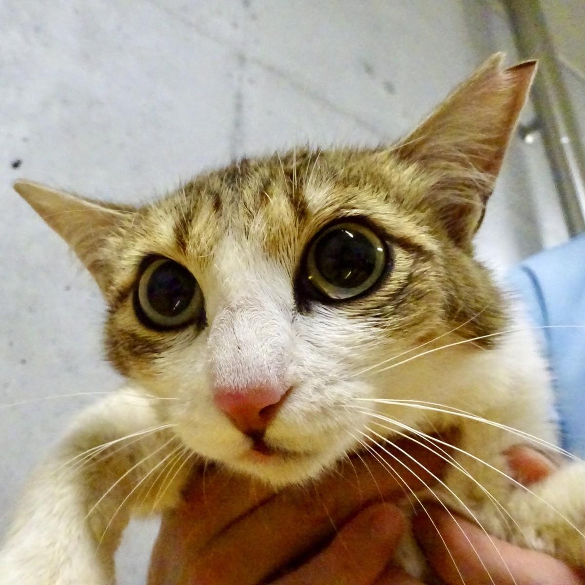 不妊手術を受けた猫(おおいた動物愛護センターで)