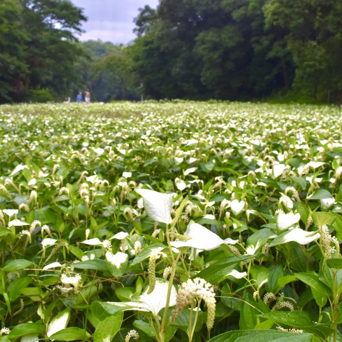 白い葉を楽しめる「うーたの里」のハンゲショウ