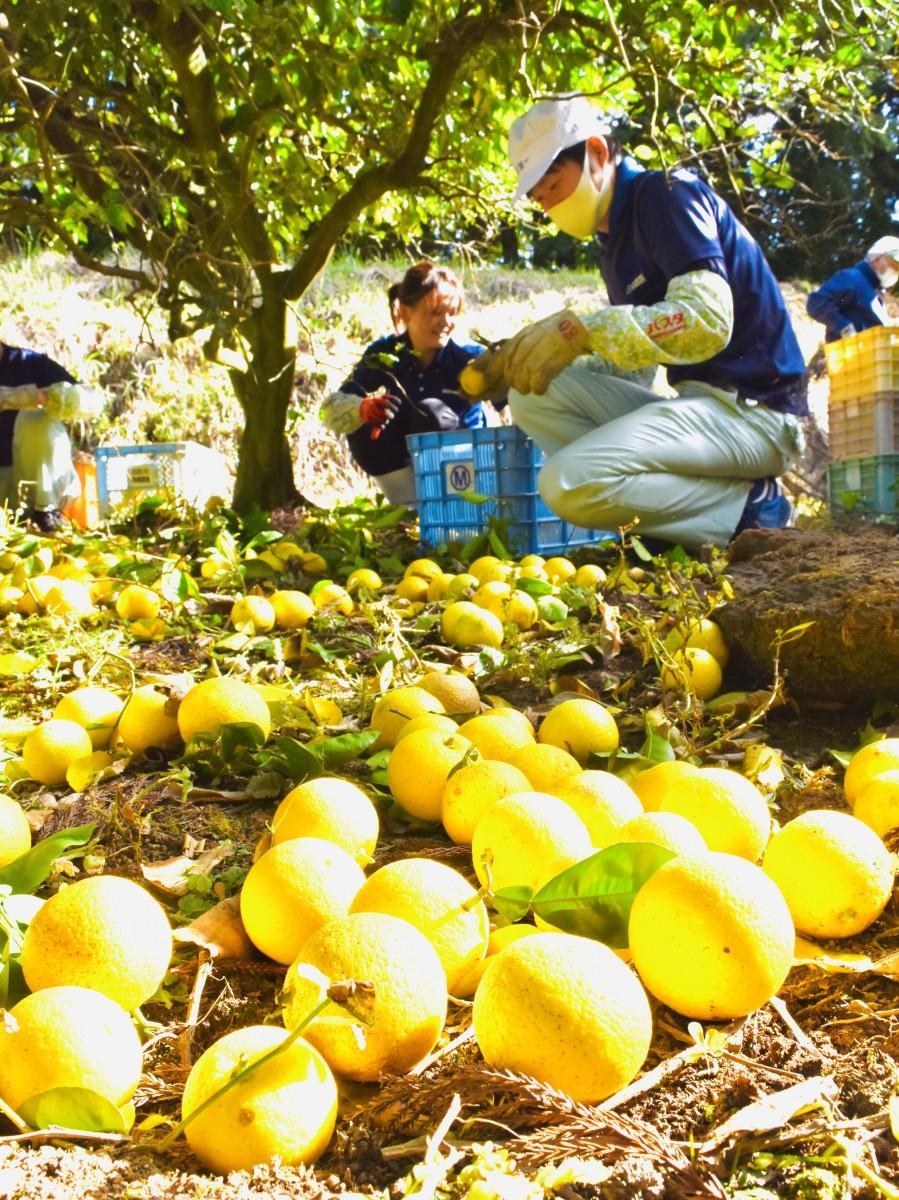 地面にゴロゴロ 完熟した「黄カボス」の収穫作業(大分県臼杵市で)