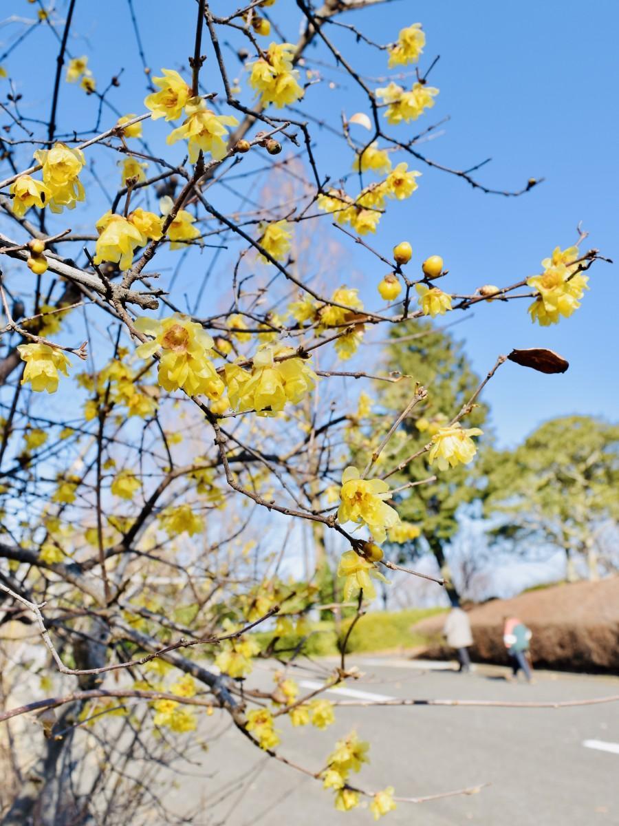 見頃を迎えた高尾山自然公園のロウバイ(1月19日13時45分ごろ撮影)