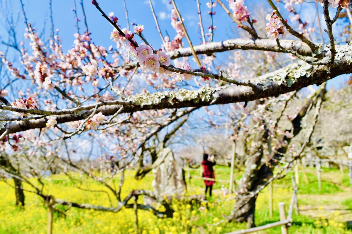 見頃を迎えている梅の花(吉野梅園、2月22日11時40分ごろ撮影)