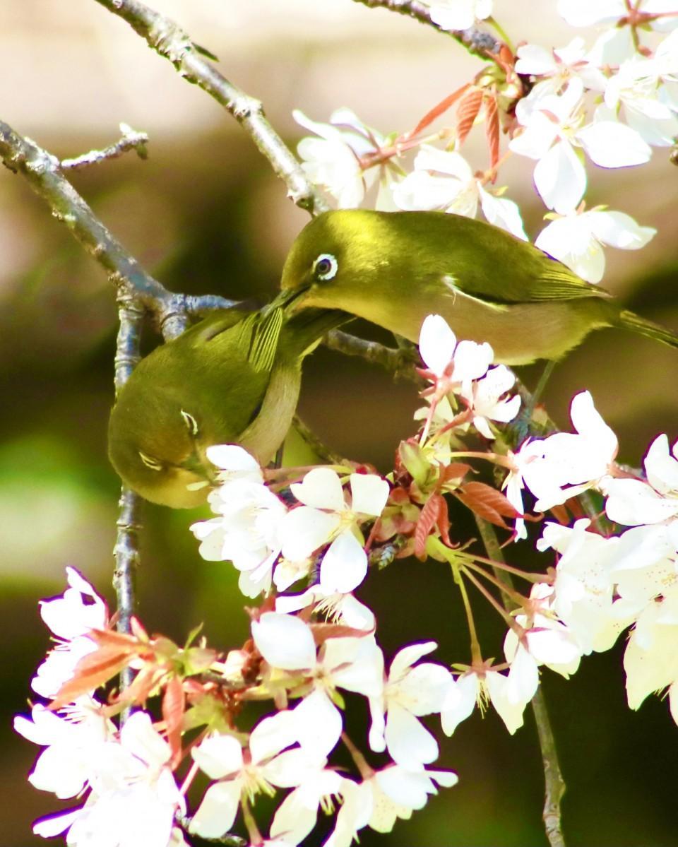 「それは羽、花はこっち」。ヤマザクラの中で戯れるメジロ