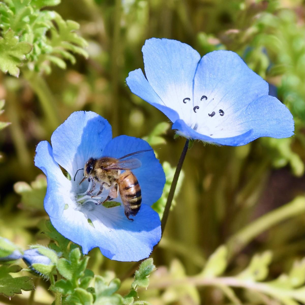 日傘を求めて 順調に開花が進む大分農業文化公園のネモフィラ(3月17日12時30分ごろ)