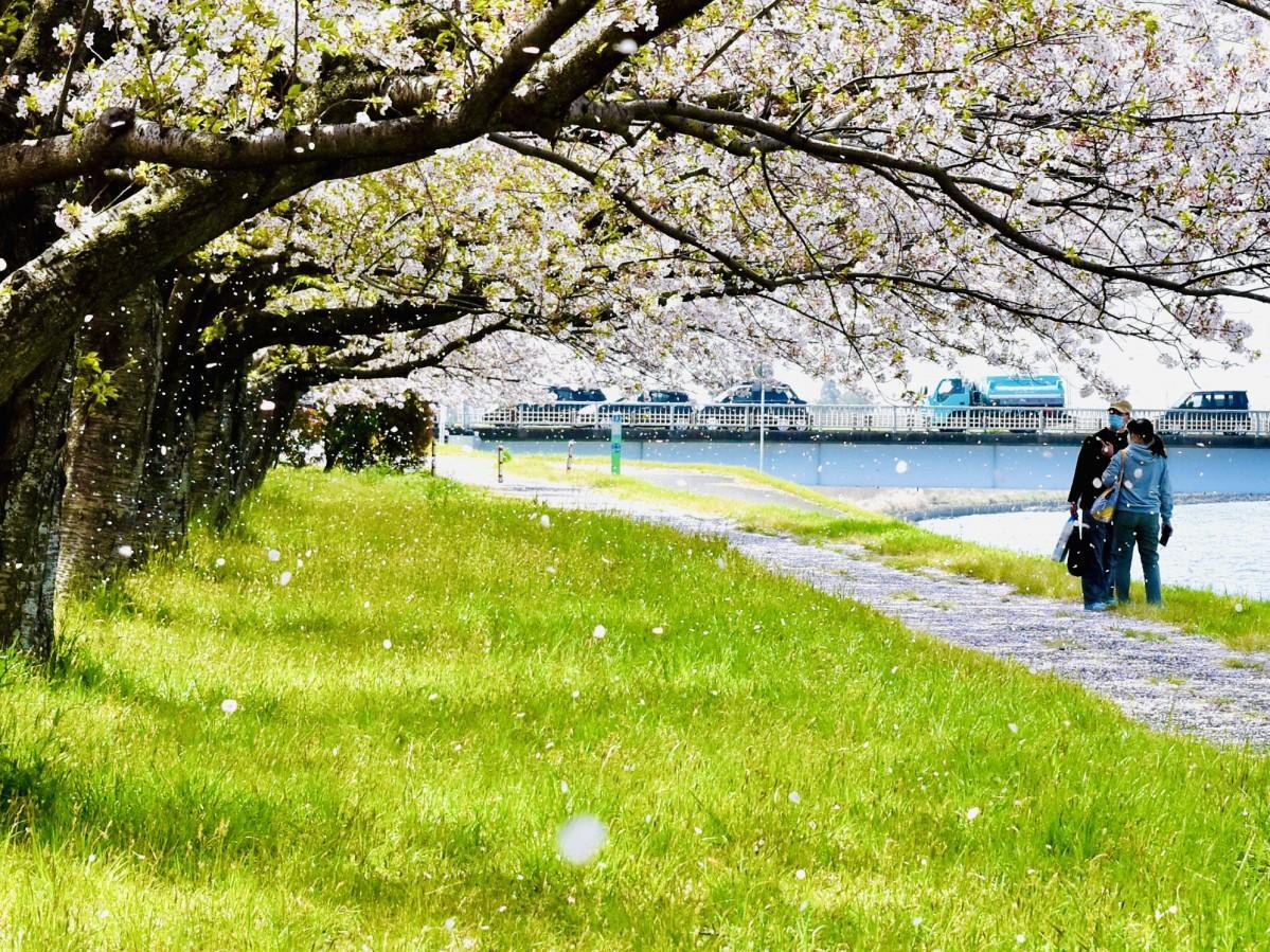 花びらが雪のように舞う大野川右岸緑地(4月1日11時15分ごろ撮影)