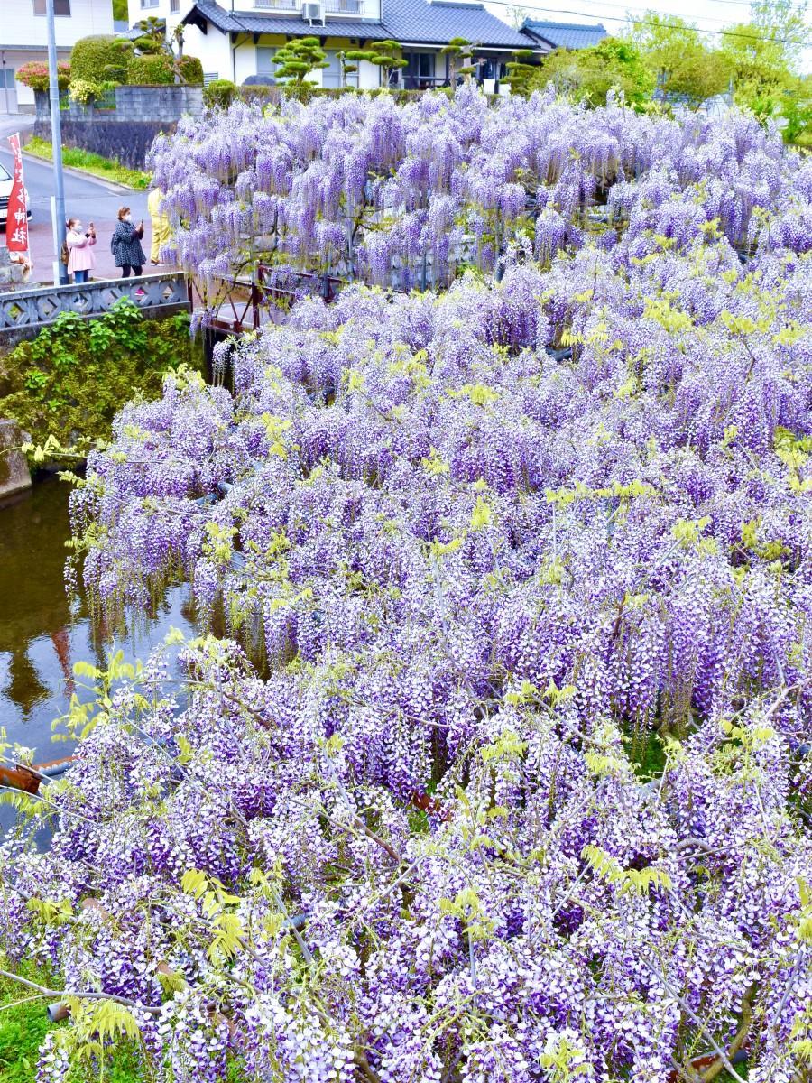 薄紫色に染まるフジ棚(4月14日11時30分ごろ撮影)