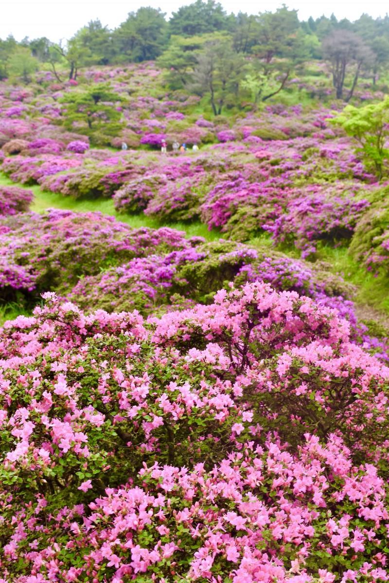 ピンク色の花畑が広がる万年山のはなぐり登山道(5月18日13時55分撮影)