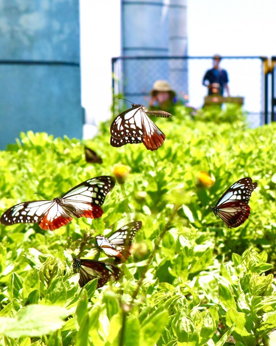 大分市の関崎海星館で飛び交うアサギマダラ