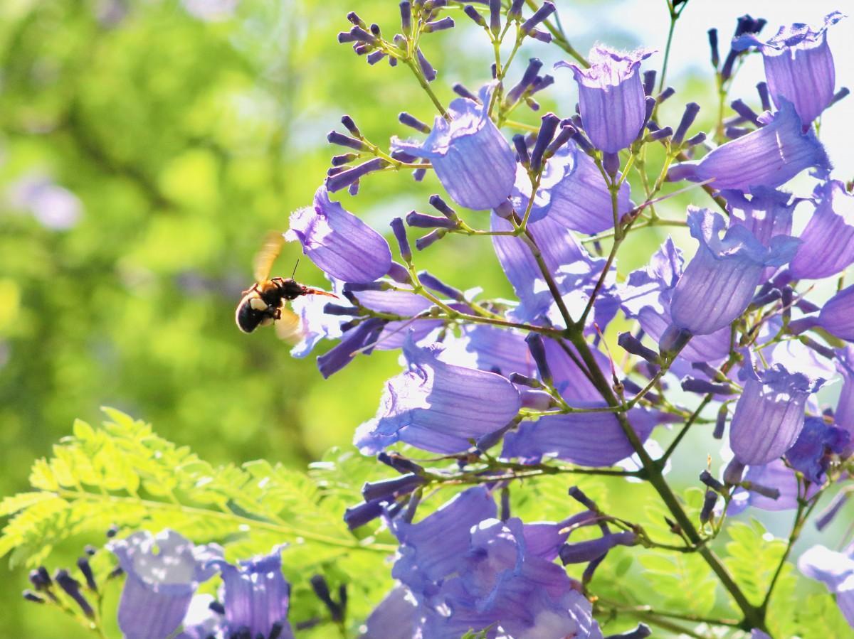 赤い舌を出すミツバチ(6月8日12時10分ごろ撮影)