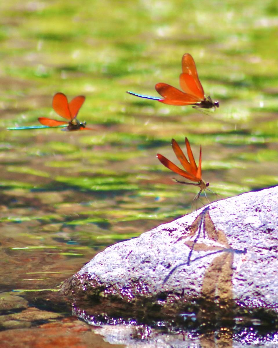 岩に飛影を映すミヤマカワトンボ(6月10日12時50分撮影)