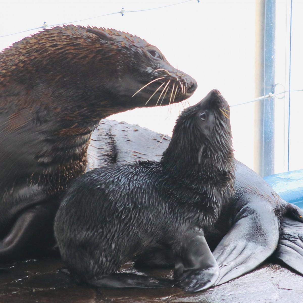 母親と一緒に元気な姿を見せるミナミアメリカオットセイの赤ちゃん(6月25日12時5分ごろ撮影)
