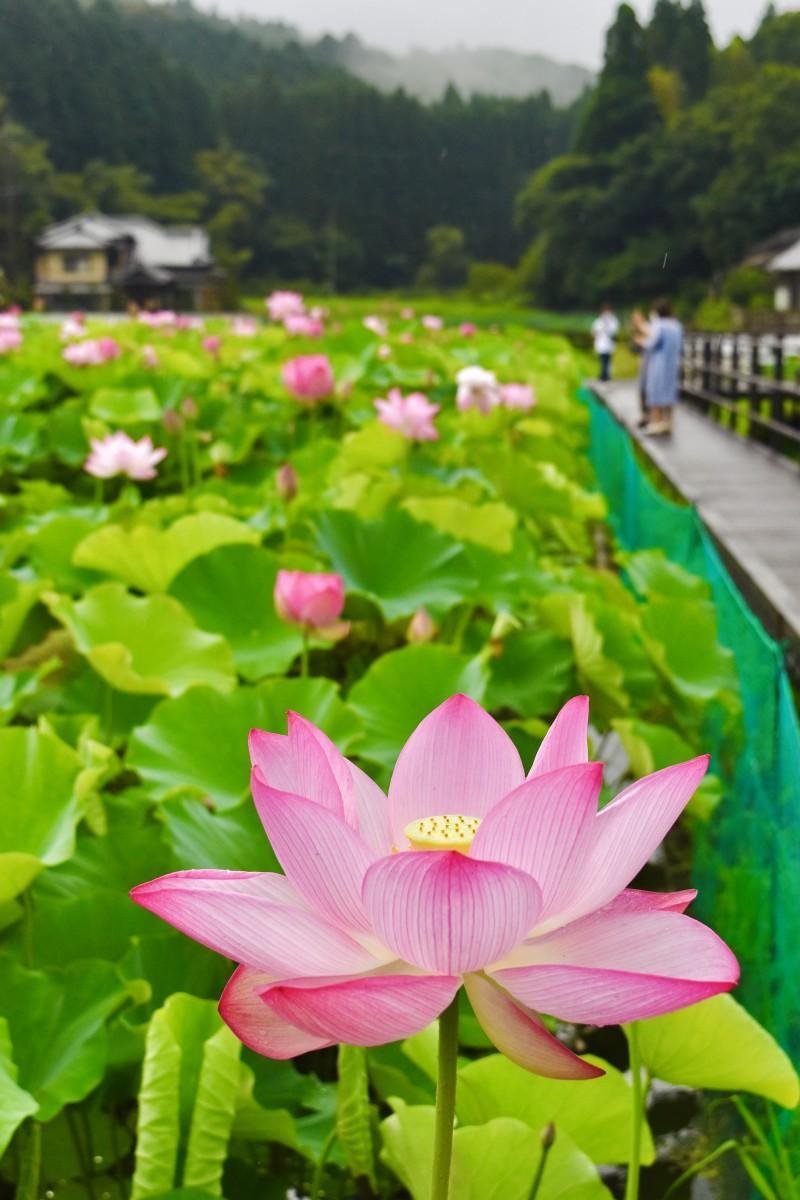 梅雨間に花を咲かせる臼杵石仏のハス(7月9日7時50分ごろ撮影)