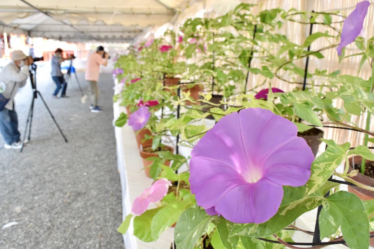涼やかな花々が並ぶ大分市朝顔展
