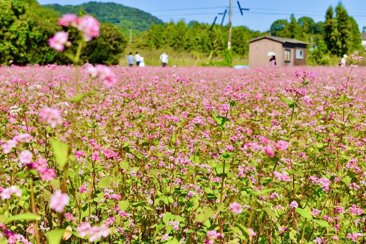 見頃を迎えた赤いソバの花(10月8日13時45分撮影、臼杵市佐志生で)