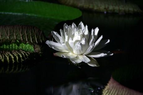暗くなると開く「パラグアイオニバス」の花(昨年の様子)