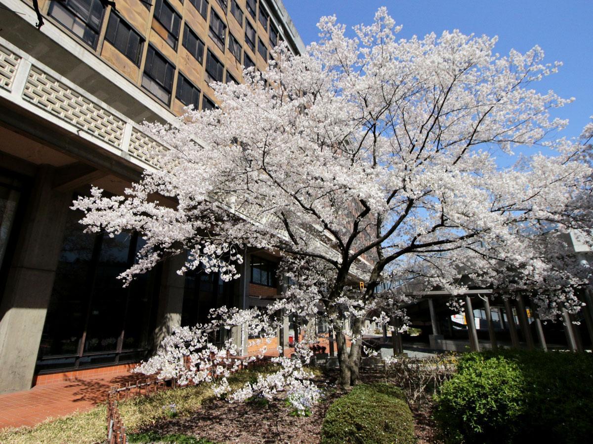 満開を迎える岡山県庁舎の中庭、醍醐桜(3月25日撮影)