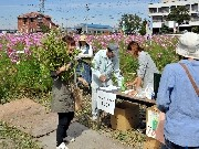 岡崎の畑で「コスモス・枝豆まつり」-枝豆縛り放題100円