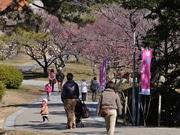 岡崎・南公園で「梅まつり」-約180本の梅林に紅白・大小の花、香り立つ