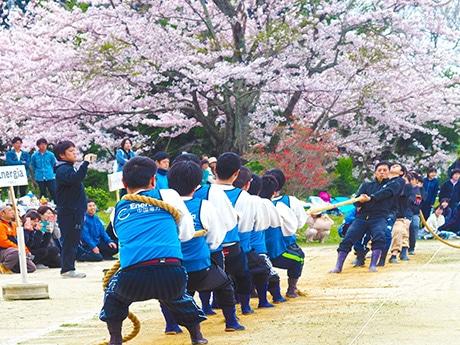 隠岐神社で恒例・綱引き大会 満開の桜が「花」添える