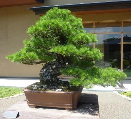 「銘」を公募している、黒松の大型盆栽