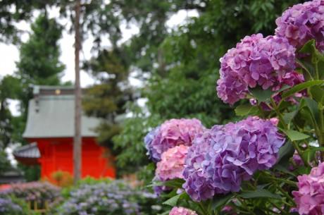 足立神社のアジサイ