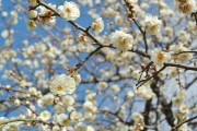 大宮公園で梅の花3~4分咲き 一部満開も