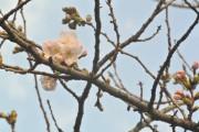 与野公園のソメイヨシノが開花 春の訪れに散歩客喜ぶ
