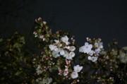 大宮公園で桜の開花宣言 例年より4日早く、見頃は月末か