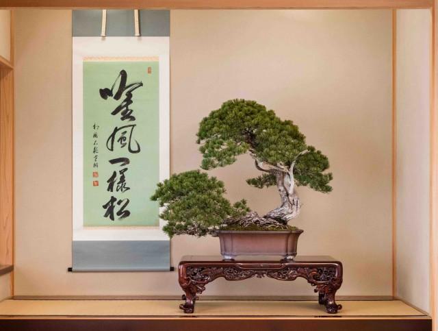 特別公開する「五葉松 銘『日暮し』」(写真提供=さいたま市大宮盆栽美術館)