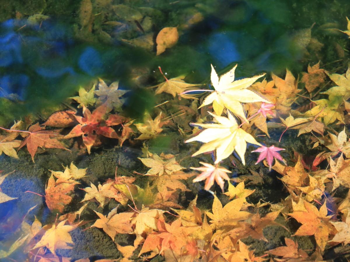 日本庭園の池に散り落ちた黄色のカエデ