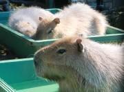 大宮小動物園のカピバラ一家がこの冬初風呂 ゆず湯で肌しっとり