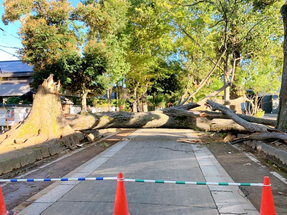 氷川参道を遮る形で倒木したケヤキ