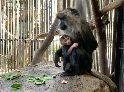 2月5日に誕生したばかりのシシオザルの赤ちゃん(2月10日撮影)
