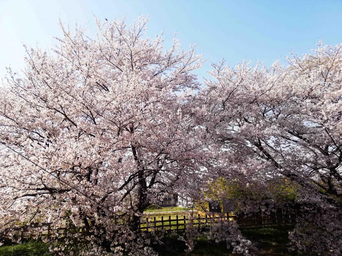春になると七里駅から見られる見事な桜の木(七里の桜を守る会提供)