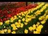 大宮の個人宅で3万本のチューリップ-庭の公開を続けて20年以上