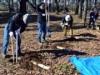 大宮公園で桜守ボランティアが土壌改良 老齢化するサクラを手入れ