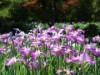 さいたま「染谷はなしょうぶ園」 花ショウブが早くも見頃に