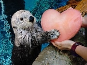 海遊館でバレンタイン企画 生き物にハート型の氷やエサをプレゼント